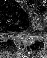 Hellyer Park, Coyote Creek Trail Run 6-21-14, Poor Tree, by Dean Chiang, Xyclopx